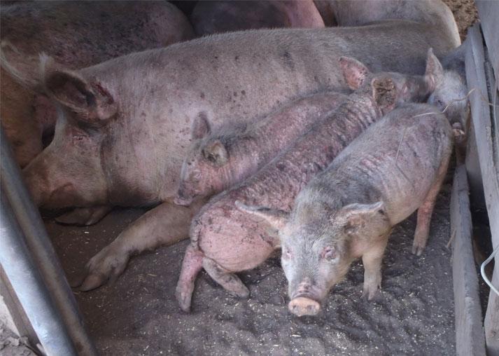 Animal Cruelty Pigs - Bing images