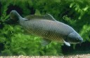 Researchers are investigating a type of herpes to kill European carp in Australian waterways.