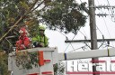 Workers had the precarious job of removing a tree limb from Colac powerlines.