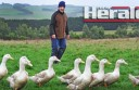 Port Campbell duck farmer Greg Clarke says feeding ducks fruit and rearing them in a paddock produced the best quality ducks.