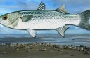The Coorong mullet, with the scientific name Aprillus foolery, could be the basis for aquaculture in Lake Corangamite, with harvests starting April 1 each year.